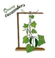 vegetables cucumbers growing crops in the garden vector image vector image