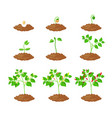 chilli pepper plant growth stages infographic vector image