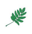 hand drawn green rowan ash tree leaf vector image