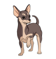 colored chihuahua on a whit vector image