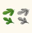 fresh fig fruit foliage detox spice foliage vector image vector image