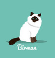 birman cute cat with green eyes design vector image vector image