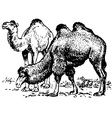 camel vector image vector image
