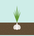 garlic vegetable with root in soil texture flat vector image vector image