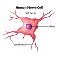 Human nerve cell vector image vector image