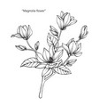 magnolia flower drawing vector image