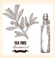 melaleuca hand drawn teatree essential oil vector image vector image
