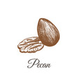 pecan sketch hand drawing vector image vector image