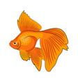 goldfish isolated on white background vector image