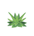 aloe vera plant isolated on a white background vector image vector image