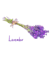 Lavender bunch with a jute rope Sketch with waterc