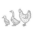 hen bird vector image