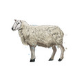 sheep from a splash watercolor colored drawing vector image