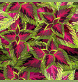 the burgundy with yellow coleus on white vector image vector image