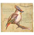 Bohemian Waxwing - An hand painted vector image vector image