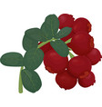 branch of red lingonberry with green leaves vector image vector image