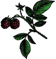 hand drawn raspberry branch vector image