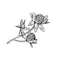 clover in blossom black ink sketch vector image vector image