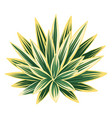 agave and tequila decorative vector image