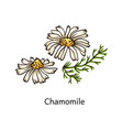 chamomile flower drawing in hand drawn sketch vector image
