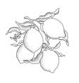 Lemon branch with fruit vector image vector image