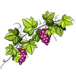 A grapevine vector image
