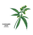 blooming cannabis marijuana plant with early vector image