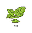 mint leaf branch drawing isolated on white vector image vector image