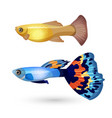 fish poecilia reticulata and carp isolated on vector image