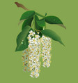 white flowers of bird-cherry tree and green leaves vector image