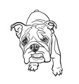 Young bulldog vector image vector image