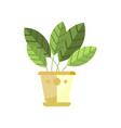 spathiphyllum house plant indoor flower in pot vector image vector image