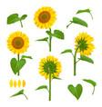 sunflowers garden botanical yellow vector image vector image