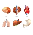 Human internal organs anatomy in cartoon vector image