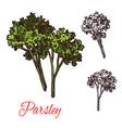 parsley seasoning sketch plant icon vector image vector image