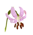 pink lily vector image
