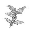 coffee leaf vector image vector image