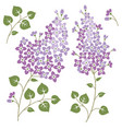 lilac flowers isolated on a white backgorund vector image