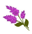 violet branches of lilac flower isolated on white vector image vector image