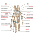 ligaments hand vector image vector image