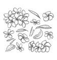 hand drawn elegant plumeria vector image