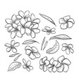 hand drawn elegant plumeria vector image vector image