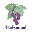 blackcurrant forest berry vector image