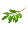 picture of olive tree branch vector image vector image