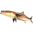 cobia vector image vector image
