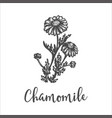 herb medicinal chamomile hand drawn sketch of vector image