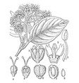 chailletia vintage vector image vector image