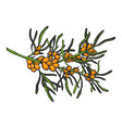 sea buckthorn branch sketch engraving vector image vector image