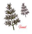 fennel seasoning plant sketch plant icon vector image vector image