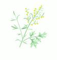 wormwood herbartemisia absinthium vector image vector image